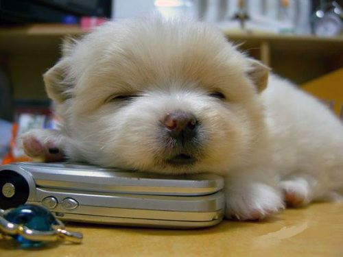 Puppy on Cell Phone