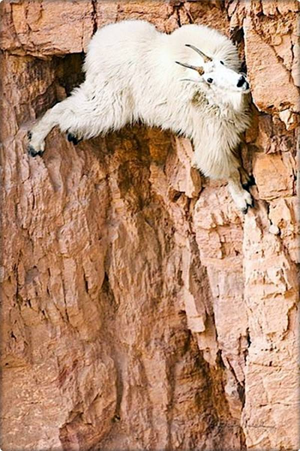 Mountain Goat on Cliffside