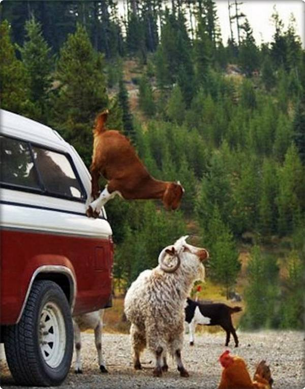 Mountain Goat on Car