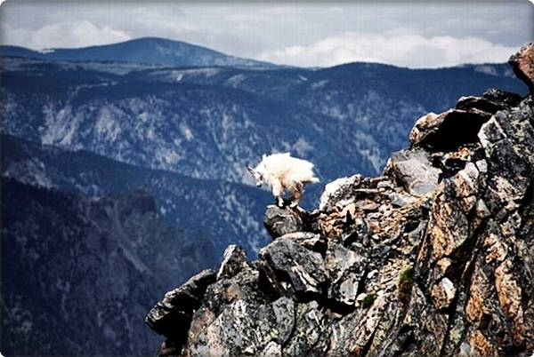 Mountain Goat on Peak