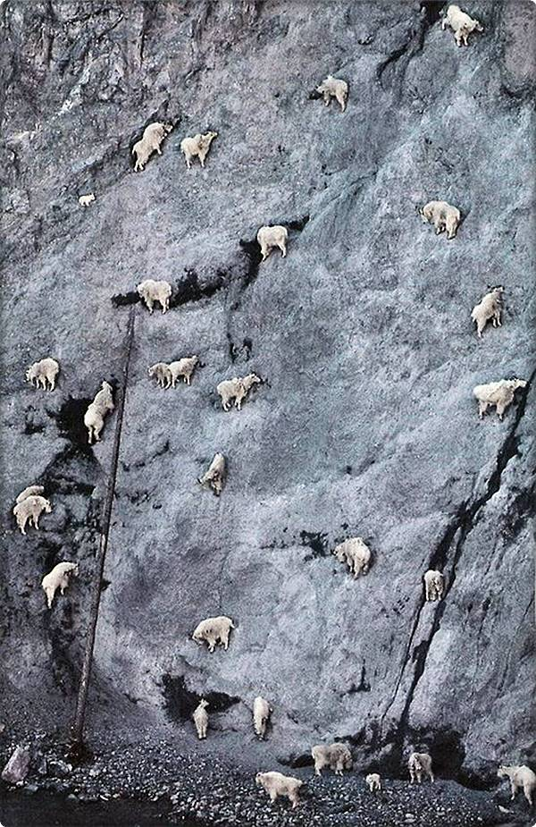 Mountain Goat Herd on Cliffside