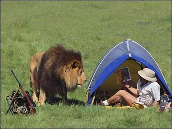 Lion outside tent
