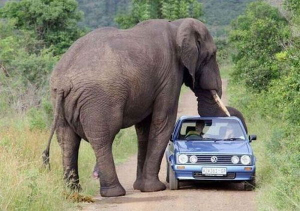 Elephant onto of VW