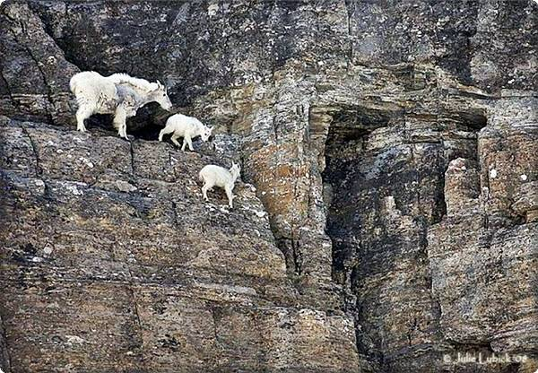 Baby Mountain Goats on Cliffside