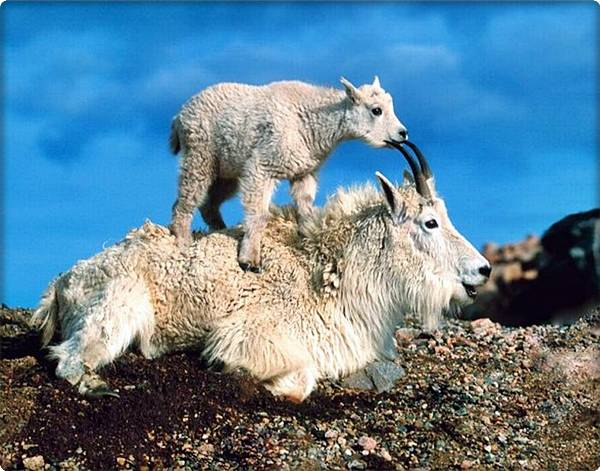 Baby Mountain Goat on Mother