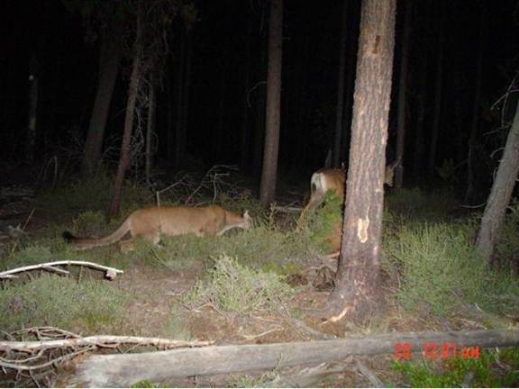 Cougar Stalking A Deer