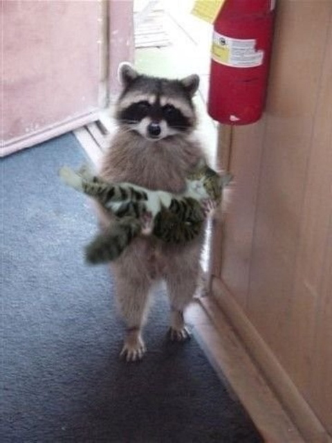 Raccoon carrying cat