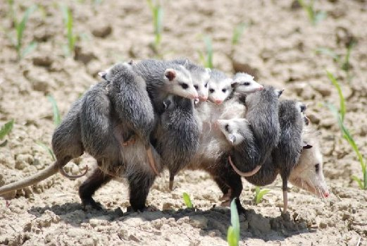 opposum mom and kids