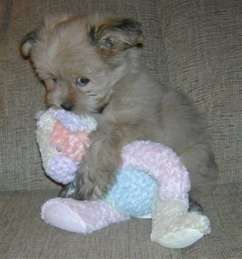tiny puppy and stuffed animal