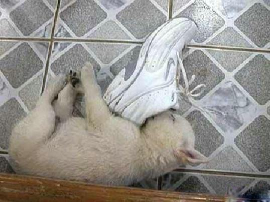 puppy sleeping in shoe