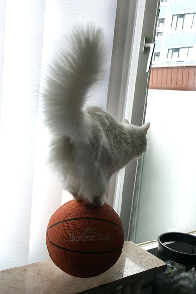 Cat balancing on  basketball