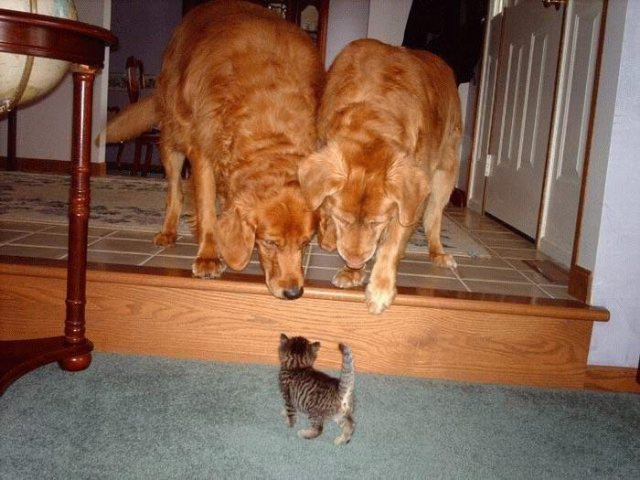 Small Kitty v Two Large Dogs